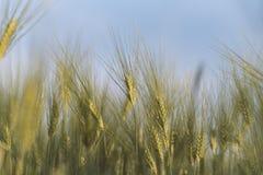 Молодые золотые уши пшеницы с голубым небом на предпосылке Стоковое Изображение