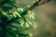 Молодые иглы ели с падениями воды Горизонтальный конец вверх росы утра на ветвях ели с лесом в Стоковые Изображения