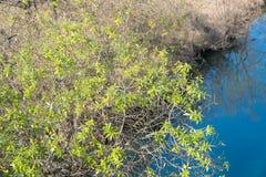 Молодые листья дерева на береге реки Стоковое Изображение RF