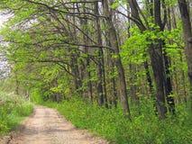Молодые листья зеленого цвета весной в лесе Стоковые Фото