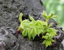 Молодые листья каштана Стоковое Изображение