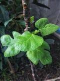 Молодые листья смоквы Стоковое Изображение