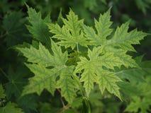 Молодые листья Стоковые Изображения