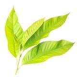 Молодые лист дерева изолированные на белизне на белой предпосылке Стоковая Фотография RF