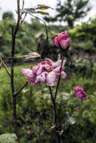 Молодые и вянуть розы Стоковая Фотография RF
