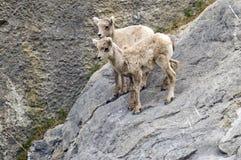 Молодые козы горы Стоковые Фото