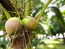 Молодые кокосы на дереве Стоковое Изображение RF