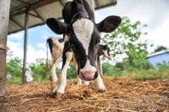 Молодые коровы стоковое изображение