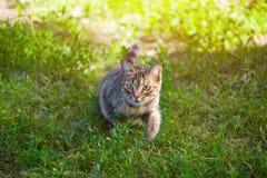 Молодые, красивые striped прогулки кота в природе Стоковое фото RF