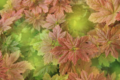 Молодые красные кленовые листы стоковое изображение rf