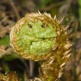 Молодые курчавые лист папоротника растя через упаденный макрос листьев, селективный фокус, отмелый DOF Стоковые Изображения