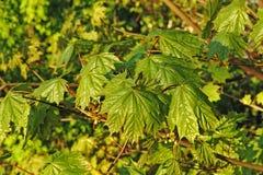 Молодые кленовые листы весной Стоковые Изображения RF