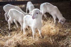 Молодые милые овечки стоя в сене с кирпичной стеной в ферме Стоковые Изображения
