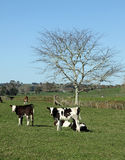 Молочные коровы на зеленом выгоне, Новой Зеландии Стоковая Фотография
