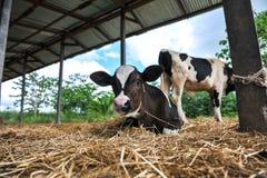 Молодые молочные коровы стоковое изображение rf