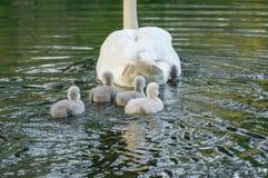 Молодые молодые лебеди плавая стоковые изображения rf