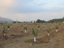 Молодые оранжевые деревья Стоковая Фотография