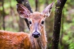 Молодые олени вытаращить в лесе Стоковое Изображение