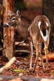 Молодые олени в лесе во время падения Стоковые Изображения