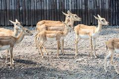 Молодые олени в открытом зоопарке Стоковое Изображение RF