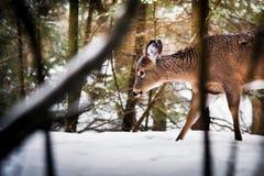 Молодые олени идя в лес во время зимы Стоковое Изображение RF