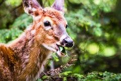 Молодые олени идя в лес есть листья в поле Стоковое Изображение