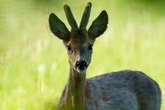 Молодые олени козуль Стоковые Фотографии RF