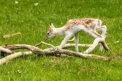 Молодые олени между ветвями Стоковые Фото