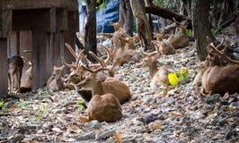 Молодые олени на зоопарке Чиангмая, Таиланде Стоковая Фотография