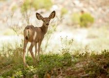 Молодые олени осла смотря назад в камеру Стоковое Изображение RF