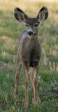 Молодые олени осляка стоковое изображение rf