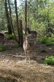 Молодые олени стоя в paddock зоопарка смотрящ камеру Стоковая Фотография