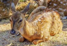 Молодые олени Стоковое фото RF