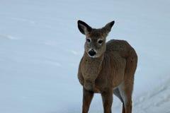 Молодые олени Стоковая Фотография RF