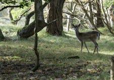 Молодые олени bambi Стоковое Изображение RF