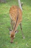 Молодые олени sika Стоковое фото RF