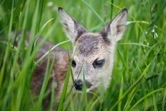Молодые одичалые олени косуль в траве, capreolus Capreolus стоковое изображение