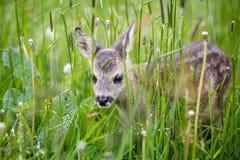 Молодые одичалые олени косуль в траве, capreolus Capreolus стоковые изображения