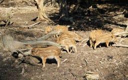 Молодые одичалые свиньи Стоковые Фотографии RF