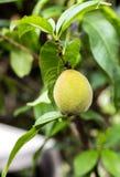 Молодые персики на дереве карлика стоковые фотографии rf