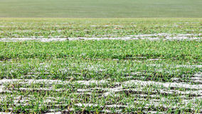 Молодые ростки пшеницы через снег Стоковое Изображение RF