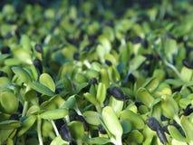 Молодые ростки солнцецвета стоковые изображения rf