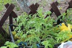 Молодые ростки томат Стоковые Изображения