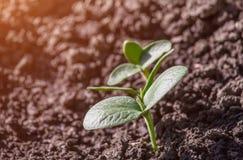 Молодые ростки тыквы в саде Стоковое Фото