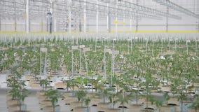Молодые саженцы томата растут в парнике на гидропонике в agroholding сток-видео