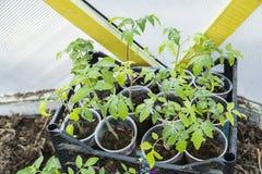Молодые саженцы томата Стоковые Фото