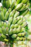Молодые свежие зеленые бананы вися на банановом дереве Пук банана растя на конце бананового дерева вверх Стоковая Фотография RF