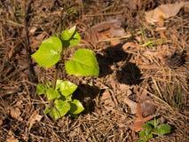 Молодые свежие зеленые листья деревца осветили с солнцем в лесе Стоковое Фото
