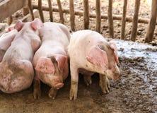 Молодые свиньи положенные в деревянную клетку Стоковые Фотографии RF