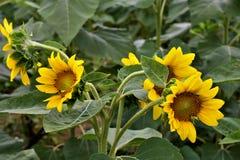 Молодые солнцецветы Стоковое фото RF